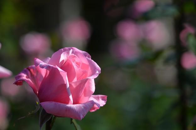 写真: 優しいピンク