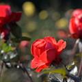 写真: 12月の薔薇
