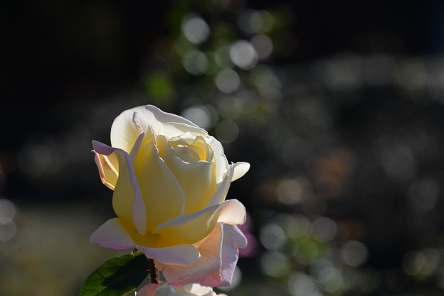 写真: 12月の薔薇2