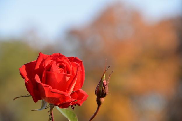 写真: 12月の薔薇3