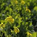 写真: もう菜の花が・・・