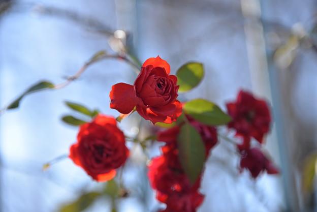 写真: 名残りの薔薇
