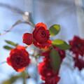 Photos: 名残りの薔薇