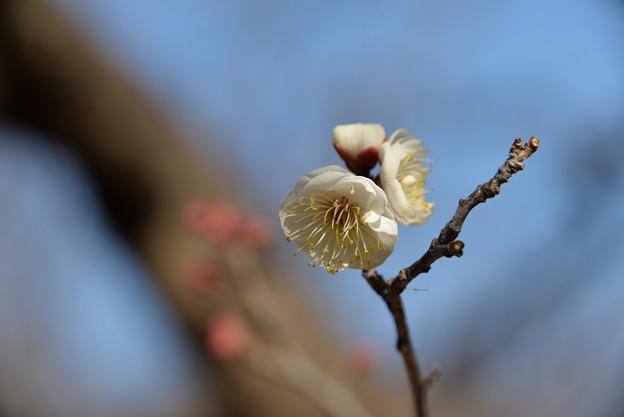 写真: 迎春?