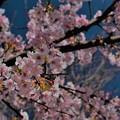 河津桜が・・・