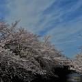 写真: 石神井川散歩