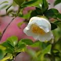 写真: 春椿