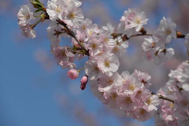 写真: 羊山公園の桜