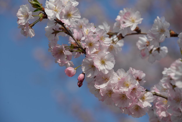 Photos: 羊山公園の桜