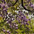 写真: 紫の君