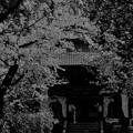 Photos: 桜の記憶