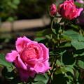 咲き始めた薔薇