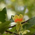 写真: ユリの木