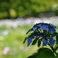 写真: 紫陽花2