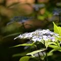 写真: 紫陽花3