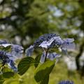 写真: 紫陽花4