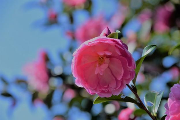 写真: 山茶花