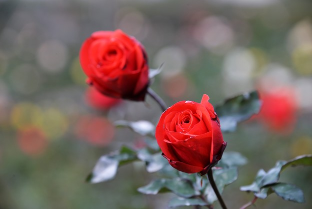 12月の薔薇