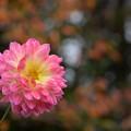 写真: 初冬に咲く