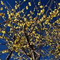 Photos: 黄色の宝石?