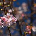 写真: 咲き始めました