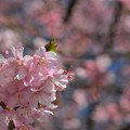 写真: 河津桜が見ごろに