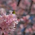 Photos: 河津桜が見ごろに