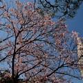 写真: 寒桜満開