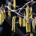 写真: ハシバミの花