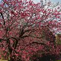 写真: 寒緋桜