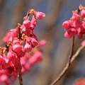 写真: 寒緋桜2