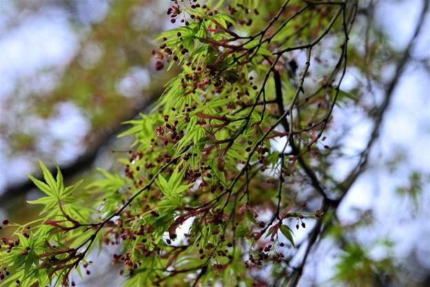 Photos: 春モミジ