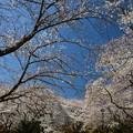 桜日和(昭和記念公園)