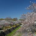 Photos: 桜日和2