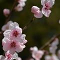 花桃(ピンク)