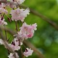 Photos: 枝垂桜