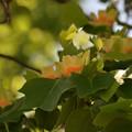 Photos: ユリの木