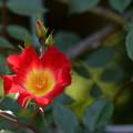 Photos: つるバラ