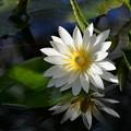 Photos: 熱帯睡蓮