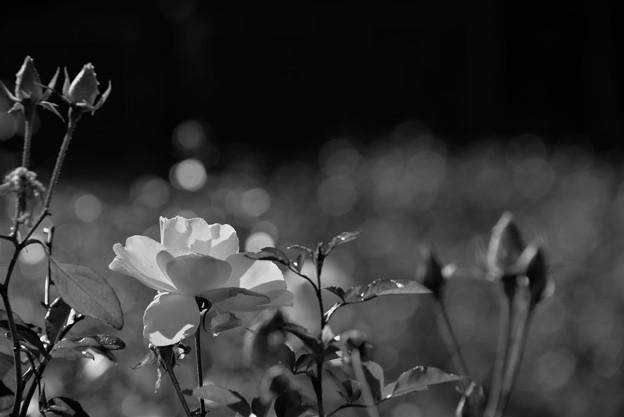一月の薔薇2
