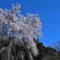 Photos: 満開の枝垂れ桜