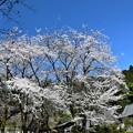 慈光寺の桜