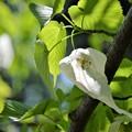 Photos: ハンカチの木