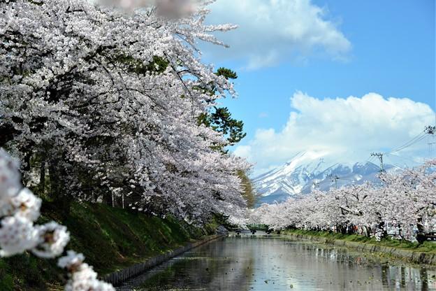 弘前の桜(2017)