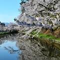 Photos: 弘前の桜(2017)・・・2