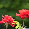 Photos: 5月の薔薇