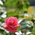 Photos: 5月の薔薇(2019)
