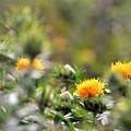 Photos: 紅花