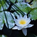 Photos: 「清純な心」