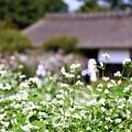 Photos: 蕎麦の花2